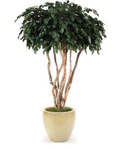 8' Canopy Ficus in Glazed Sand Stoneware Planter