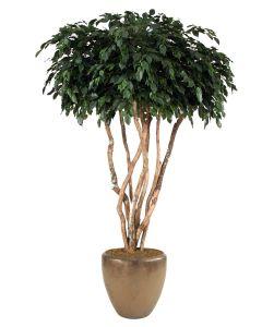 8' Canopy Ficus Tree in Metallic Bronze Stoneware Pot