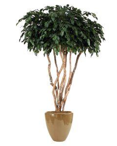 8' Canopy Ficus Tree in Glazed Mocha Stoneware Pot