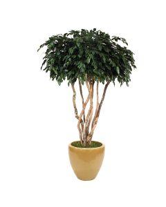 8' Canopy Ficus in Dark Sand Glazed Stoneware Planter