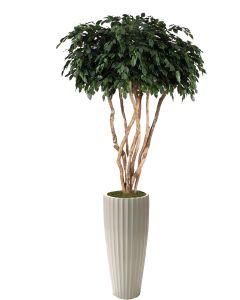 8' Canopy Ficus in Glazed White Earthenware Highland Floor Vase