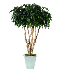 8' Canopy Ficus in White Stoneware Container