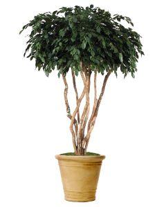 8' Canopy Ficus in Sierra Beige Garden Planter