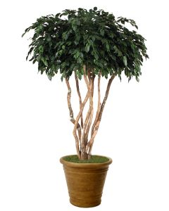 8' Canopy Ficus in Tuscan Brown Garden Planter