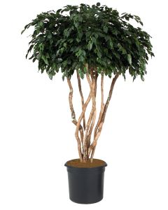 8' Canopy Ficus Tree in Black Plastic Nursery Liner