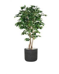 5' Green Ficus Tree in Black Wash Pot