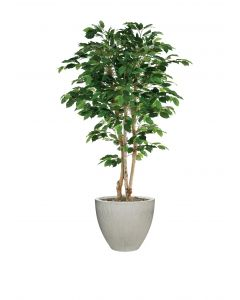 6.5'  Mango Canopy Tree in Vertically Ridged Planter