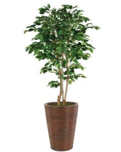 5' Green Ficus Tree in Tapered Rattan Basket