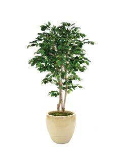 5' Green Ficus Tree In Glazed Sand Stoneware Pot