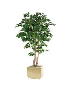 5' Green Ficus Tree in Square Ivory Earthenware Planter