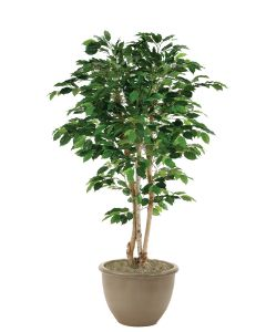 5' Green Ficus Tree in Brown Rimmed Stoneware Planter