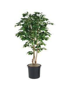 5' Green Ficus Tree in Black Plastic Nursery Liner
