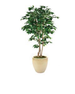 7' Green Ficus Tree In Sand Glazed Stoneware Pot