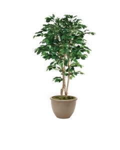 7' Deluxe Ficus Tree in Brown Rimmed Stoneware Planter