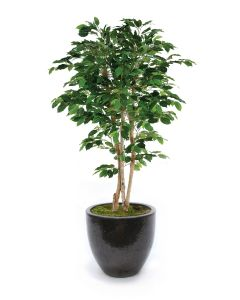 7' Deluxe Ficus Tree in Egg Planter