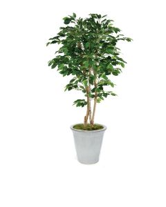 7' Deluxe Ficus Tree in White Stacked Planter