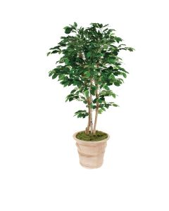 7 Ficus Tree in Large Natural Stone-Colored Terra Cotta Garden Planter