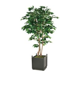 6' Bushy Green Ficus Tree in Square Wooden Planter with Finals