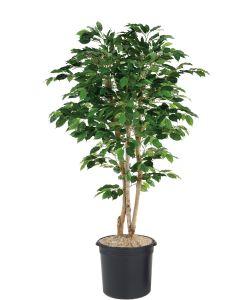 7' Green Ficus Tree in Black Plastic Nursery Liner