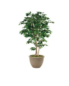 6' Deluxe Ficus Tree in Brown Rimmed Stoneware Planter