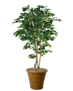 6' Deluxe Ficus Tree in Tuscan Brown Terracotta Patio Pot