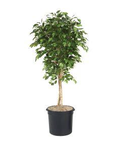 6' Bushy Ficus Tree in Black Plastic Nursery Liner