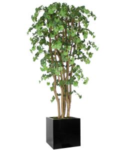 7' Ginko Tree in Block Planter