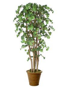 7' Ginko Tree in Tuscan Brown Terra Cotta Patio Pot