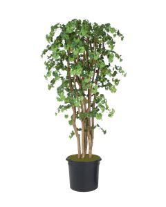 7' Ginko Tree in Black Plastic Nursery Liner