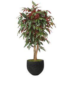 5' Red Capensia Tree in Black Stone Orb Planter