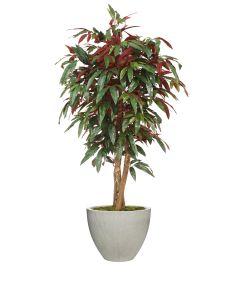 5' Red Capensia Tree in Vertically Ridge Planter