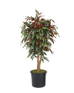 5' Red Capensia Tree in Black Plastic Liner