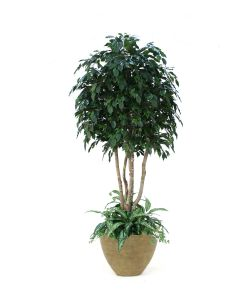 8' Ficus Tree with Ground Cover in Large Tuscan Brown Oval Tapered Light Concrete Planter