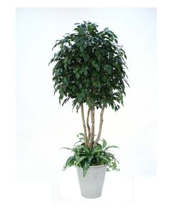 8' Ficus Tree with Ground Cover in White Stoneware Container