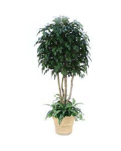 8' Ficus Tree with Ground Cover in Sierra Beige Terra Cotta Patio Pot