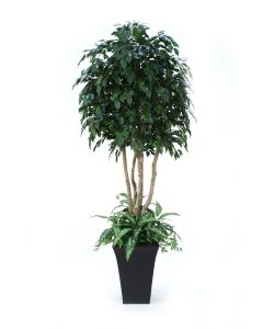 8' Ficus Tree with Ground Cover in Tall Flared Graphite Black Metal Planter