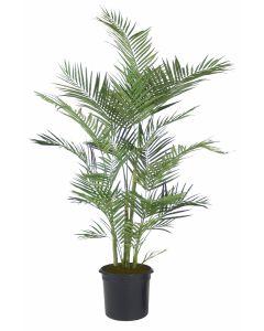 6' Areca Palm in Liner