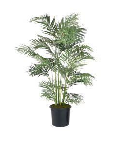 7' Areca Palm in Black Plastic Nursery Liner