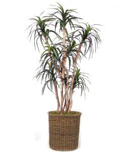 6.5' Dracaena Tree in Stained Rolled Rim Wicker Basket
