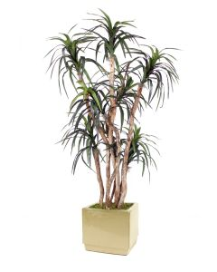 6.5' Dracaena Tree in Square Glazed Ivory Stoneware Planter