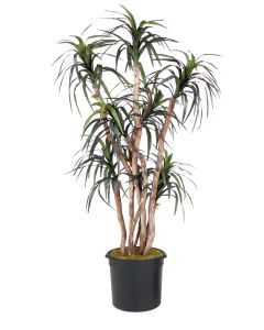 6.5' Dracaena Tree in Black Plastic Nursery Liner