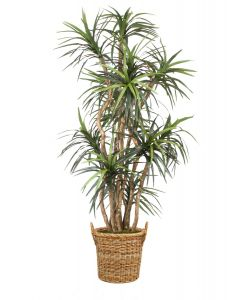 8' Dracaena Tree in Natural Round Core Arrorog Rattan Basket with Handles