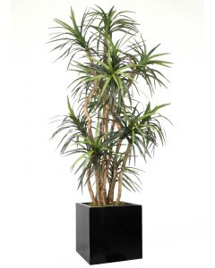8' Dracaena Tree in Block Planter