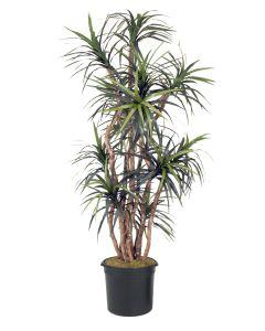 8' Dracaena Tree in Black Plastic Nursery Liner