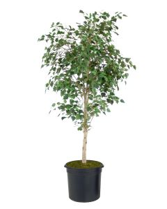 7.5' Birch Tree in Liner
