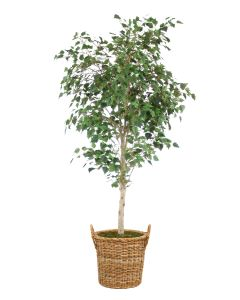 7.5' Birch Tree in Natural Round Core Arrorog Rattan Basket with Handles