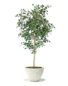 7.5' Birch Tree in Xlarge Whitegray Washed Oval Tapered Concrete Lite Planter