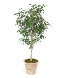 7.5' Birch Tree in Brown Clay Garden Planter