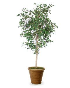 7.5' Birch Tree in Tuscan Brown Terracotta Patio Pot
