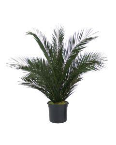 6' Phoenix Palm Tree in Liner